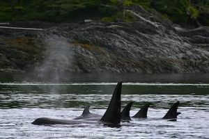 Orca-whales-vancouver-island_134